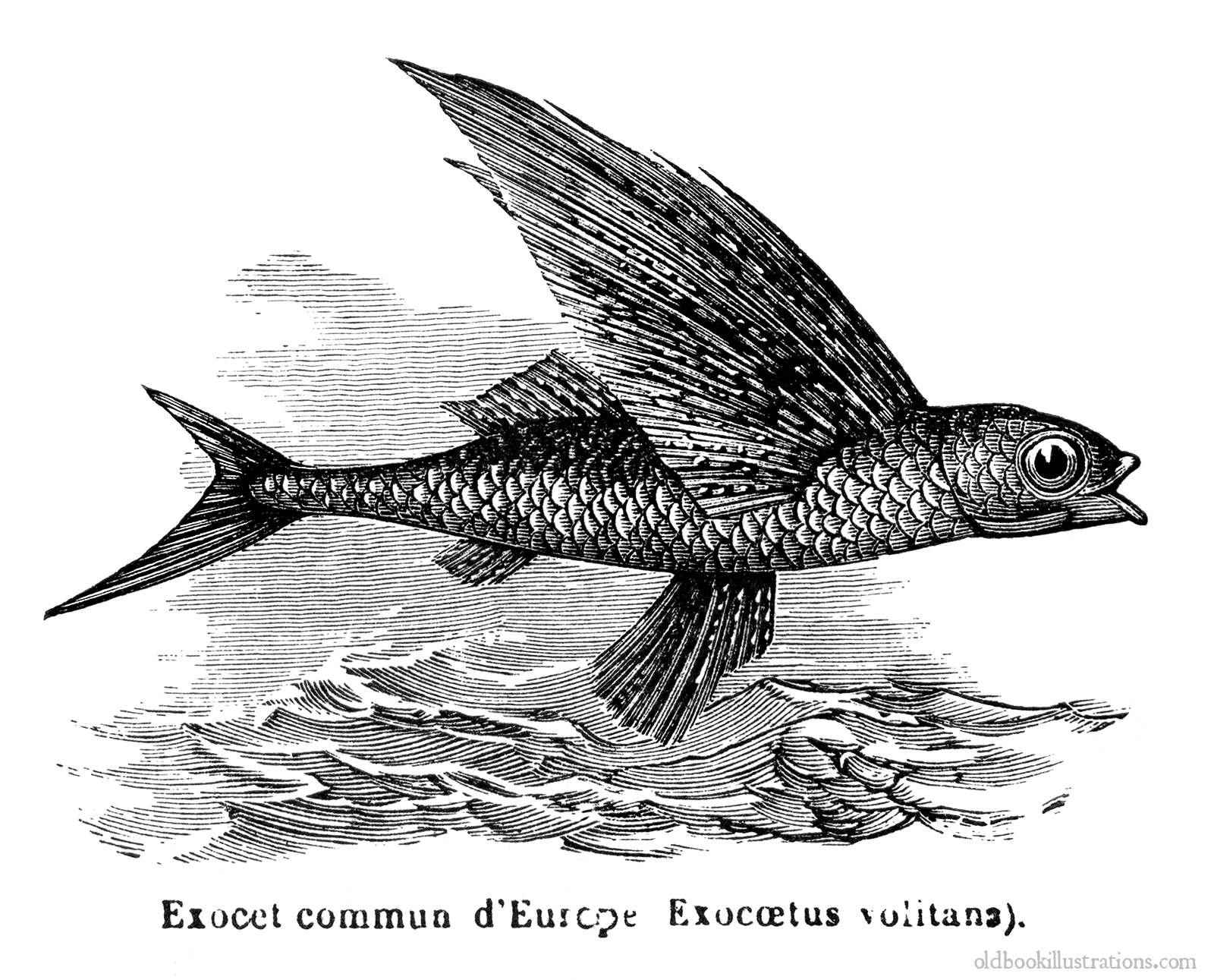tropical twowing flyingfish 187 old book illustrations