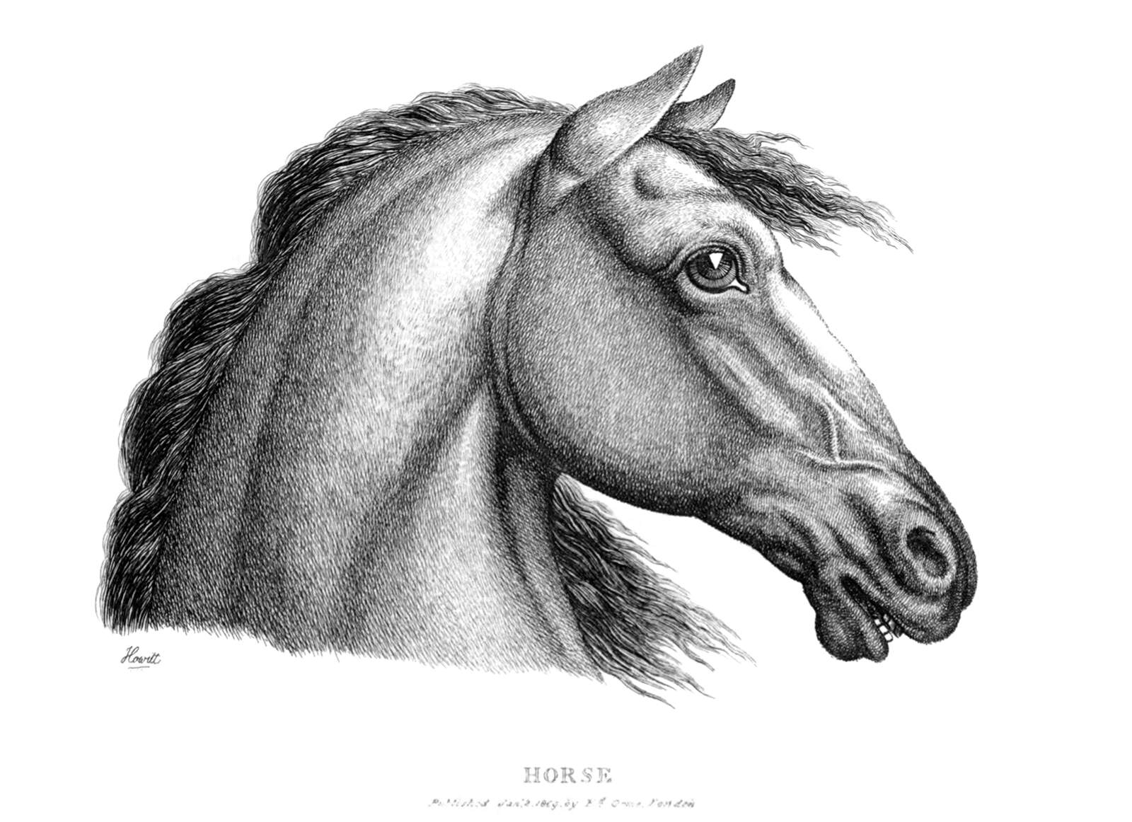 Horse S Profile Old Book Illustrations