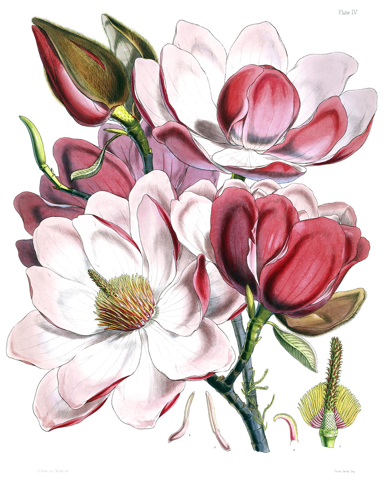 Magnolia Campbellii Old Book Illustrations