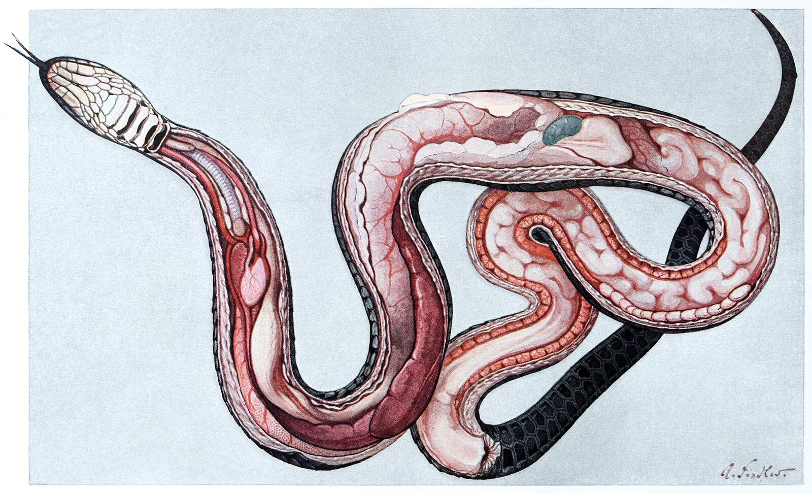 Anatomy Of A Female Grass Snake Old Book Illustrations
