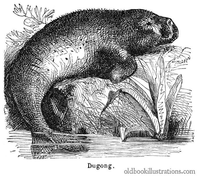 Dugong mermaid myth