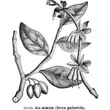 Leatherwood (Dirca Palustris)