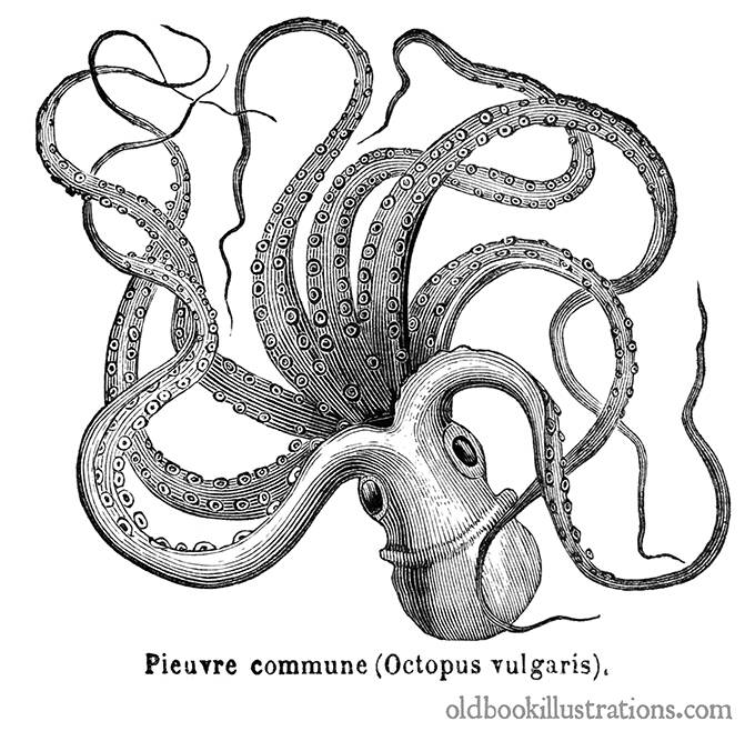 Common Octopus Old Book Illustrations