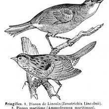 Seaside & Lincoln's Sparrows