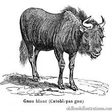 Black Wildebeest (Gnu)
