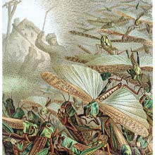 A Swarm of Locusts