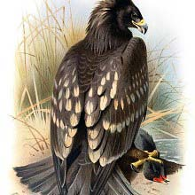 Spotted Eagle