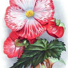 Tuberous begonia Mme Joseph Eliat