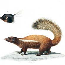 Humboldt's hog-nosed skunk
