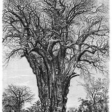 Baobab at Mohéli