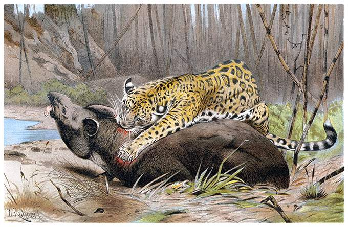 Jaguar pounces on tapir