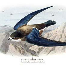 Needle-tailed swift