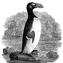 View of a great auk (Pinguinus impennis) standing on a rock surrounded by the ocean