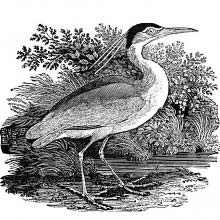 Profile view of a black-crowned night heron on a shore