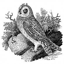 The short-eared owl is a bird of prey in the family Strigidae