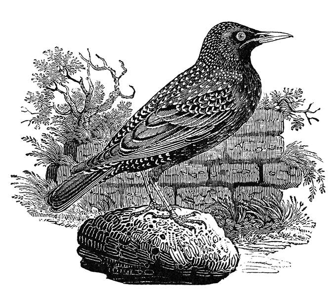 Common starling shown standing on a stone near a wall overgrown with plants