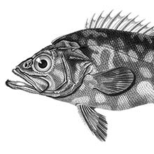 Atlantic wreckfish (Polyprion americanus) is a fish in the family Polyprionidae