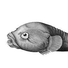 The rocksucker (Chorisochismus dentex) is a fish in the family Gobiesocidae