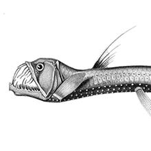 The scaly dragonfish is a deep-water fish in the family Stomiidae