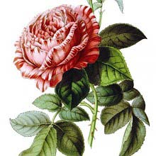 Triomphe de Valenciennes, remontant hybrid in the family Rosaceae