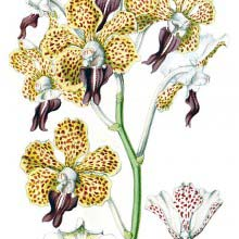 Vanda tricolor is a fragrant Orchid with decorative spotted flowers