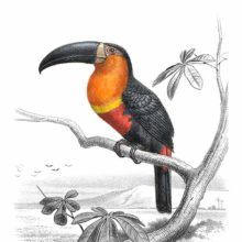 The Ariel toucan is a bird in the family Ramphastidae perching on a tree