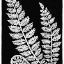Lace design showing fern fronds, fully grown as well as unfurling
