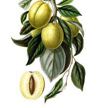 The Golden Esperen plum is a cultivar of Prunus domestica close to the mirabelle