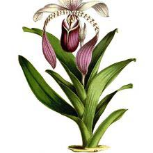 Paphiopedilum lowii (syn. cypripedium lowii) is a plant in the family Orchidaceae