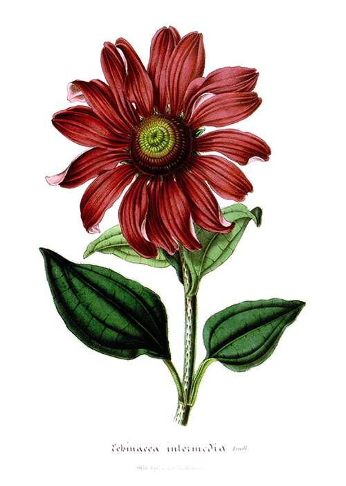 The purple coneflower (Echinacea purpurea) is a plant in the family Asteraceae