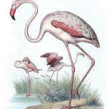The greater flamingo is a widespread wadind bird in the family Phoenicopteridae