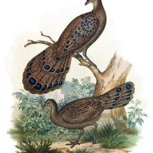 A male grey peacock-pheasant perches on a branch while a female is on the ground