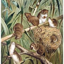 View of harvest mice and their nest among grass and branches