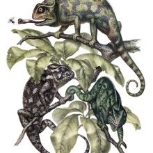Three Indian chameleons move about among the leaves at the tip of a branch