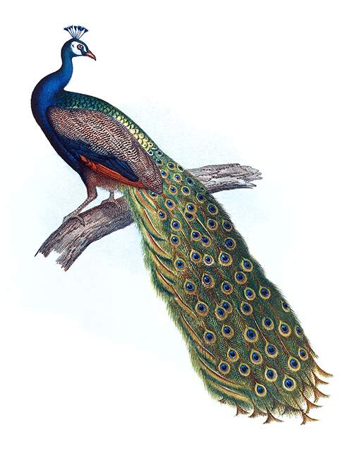 The Indian peacock is a bird in the family Phasianidae native to South Asia