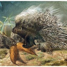 An adult porcupine and three juveniles are about to feast on roots