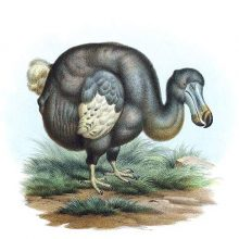 The dodo was a bird in the family Columbidae native to the island of Mauritius