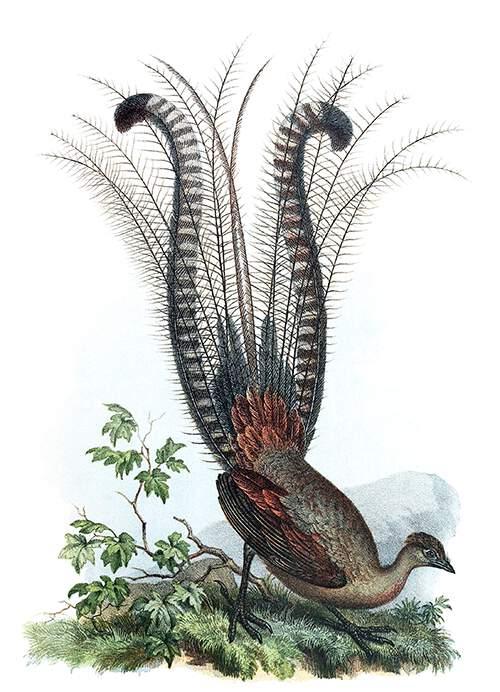 The superb lyrebird is a passerine bird in the family Menuridae native to Australia