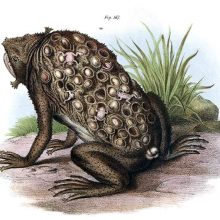 Suriname toad with eggs embedded in the skin of the back and juveniles