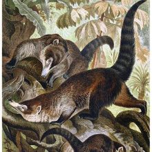 Three white-nosed coatis are in a tree, seen from the front, side, and rear