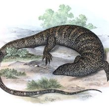 The white-throated monitor is a lizard native to southern Africa