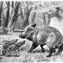 A wild boar (Sus scrofa) stands on alert with its cubs by a pond in the woods