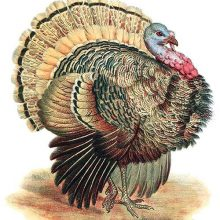 The wild turkey is a bird in the family Phasianidae native to North America