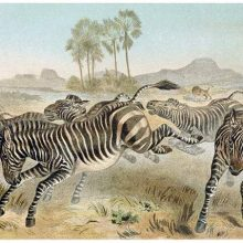 A herd of zebras is seen running and kicking in the African savanna