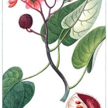Achiote flowers, seed pods, and leaves. Bixa orellana is a shrub in the family Bixaceae