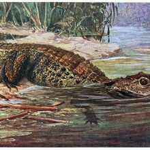 A dwarf crocodile leaves the bank of a river to enter the water