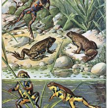 Two yellow-bellied toads are in a pond while three European fire-bellied toads are on the bank