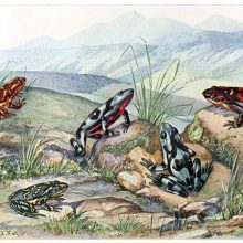 Five species of harlequin frogs are seen on a rocky patch of grass