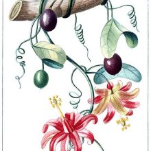 Passiflora murucuja with flowers, fruit, leaves, and tendrils