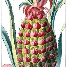 Pineapple fruit. The pineapple is plant native to South America